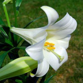 768px-Lilium_longiflorum_(Easter_Lily)